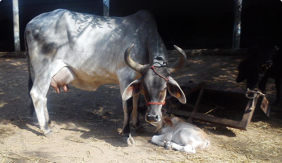 cow utsav dairy farm